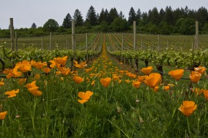 Wildflower ground cover at Stoller vineyard, Dundee Hills, Oregon