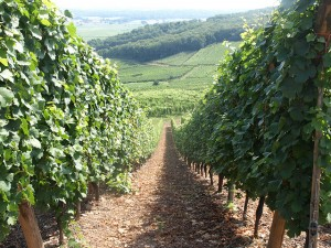 A vineyard in Alsace. (Flickr: Trubble.)