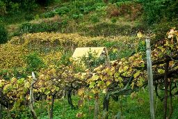 A vineyard in Madiera (Wikimedia).