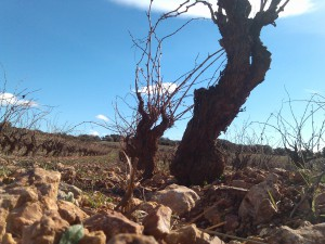 Pithon - 100 year old vines