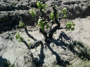 Old bush vines in the Swartland
