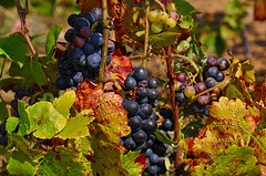 Gamay in Beaujolais (Flickr: dyfustifications)