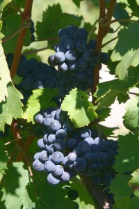Cabernet Franc on the vine (Wikimedia)