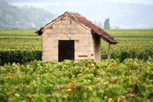 Vineyard in Burgundy (Source: Wikimedia)