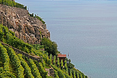 The vineyard of Dézaley, planted with Chasselas. This land is, according to some assumptions, the place of origin of this grape variety in Lavaux. (Flickr: raz1940 et Charlotte)
