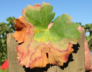Pierce's Disease Symptoms in Merlot Leaf (Source: UC Davis)