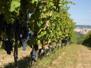 Vineyards in Taurasi (Source: Campania Wines)