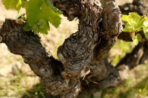 Old vines. (Flickr: Austin Beeman)