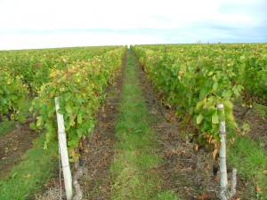 Vineyards in Reuilly. (Source: Domaine Claude Lafond.)