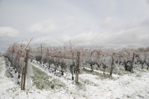Snow covered vineyards in Canada's Niagara wine region. (Source: Tawse Winery)