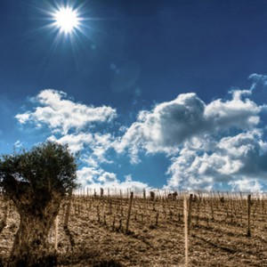 Syrian vineyards. (Source: Bargylus Wine Estate)