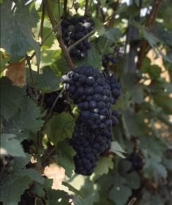 Pinot Meunier (Wikimedia)