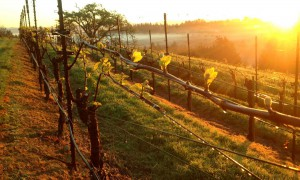 Patchy Fog Vineyard Sunlight