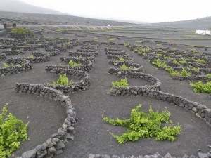 Vineyards in Lanzarote, Canary Islands. (Wikimedia)