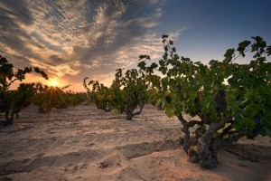 Evangelho Vineyard (Source: Historic Vineyard Society)