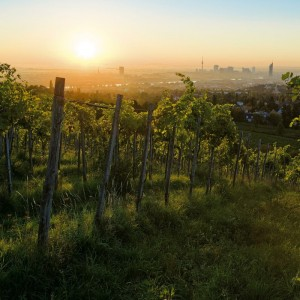 Vineyard in Vienna.