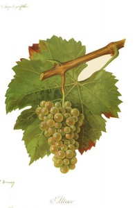 Altesse, a white wine grape variety found primarily in the Savoy wine region of France. (Wikimedia)