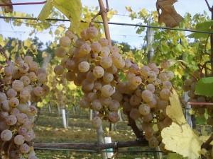 Late harvest Petit Manseng. (Wikimedia)