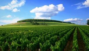 Vineyard in Côte de Nuits. (Wikimedia)