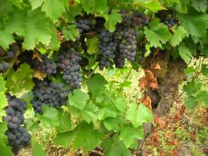 Mencia growing in Ribeira Sacra. (Wikimedia)