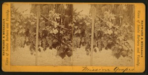 Mission grapes growing around Santa Barbara, California, circa 1875. (Wikimedia)