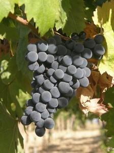 Montepulciano grapes. (Wikimedia)