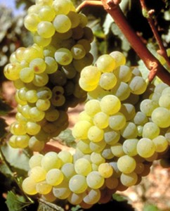 Savatiano grapes.