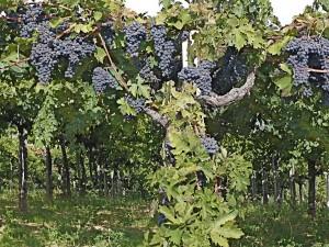 Montepulciano grapes in Abruzzo. (Wikimedia)