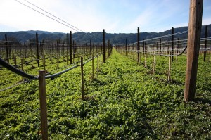 An irrigated vineyard. (Wikimedia)