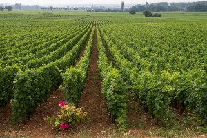 Burgundy vineyards near Beaune, France. (Wikimedia)