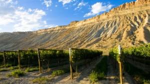 Vineyards beneath the palisades in Palisade, Colorado.
