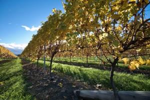 New Zealand vineyards. (Wikimedia)