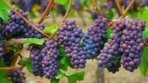 Pinot gris grapes at Iris Vineyards in Oregon. (Flickr: Rick Obst)