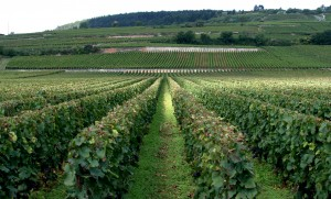 Vineyard_in_Cote_de_Beaune,_Burgundy
