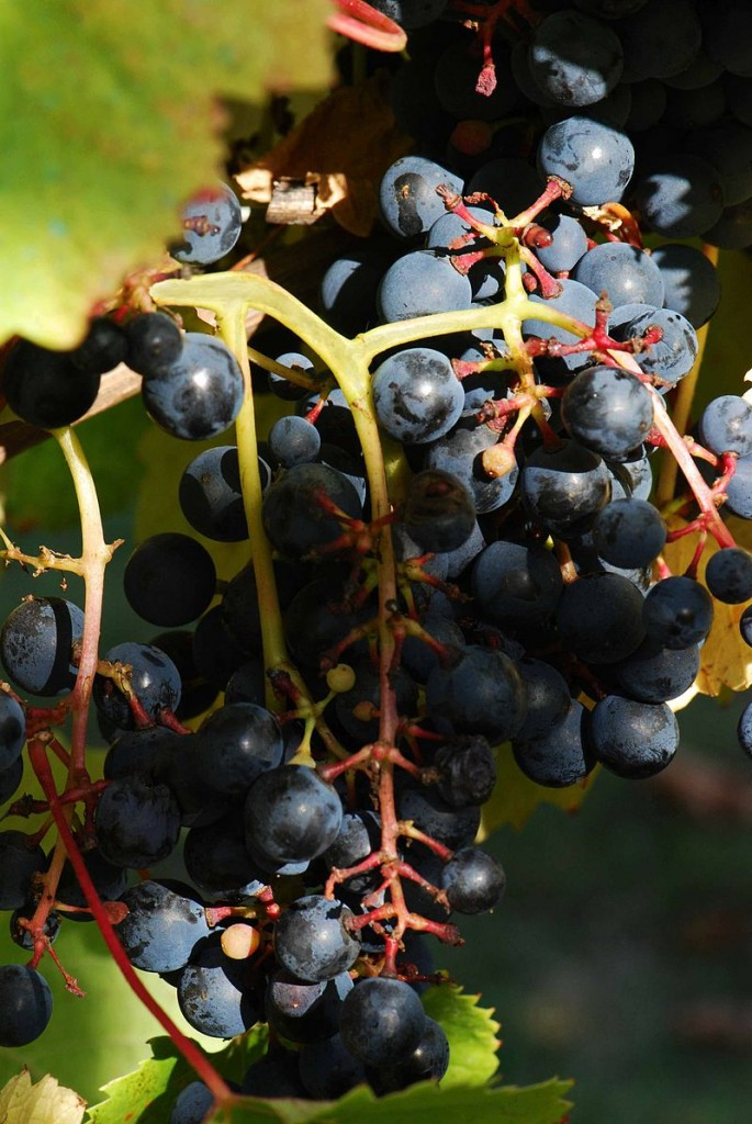 Tannat grapes. (Source: Wikimedia)