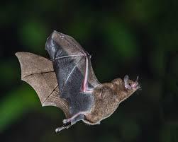 Flying bat.