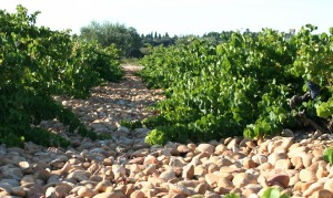 Rhône_Valley_-_Châteauneuf-du-Pape_galet_stones_in_vineyards
