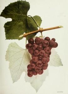 Catawba, a native grape. (Wikimedia)