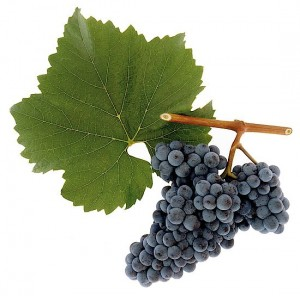 Zweigelt. (Photo credit: Austrian Wine)