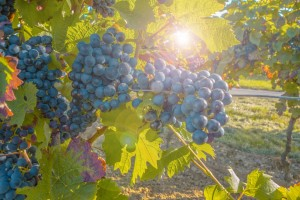 grapes_grapevine_fruit_plant_cultivation_blue_green_food-1236015.jpg!d
