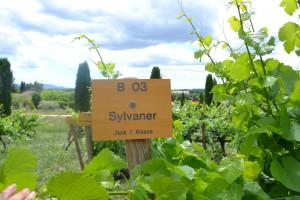 Sylvaner_-_panneau