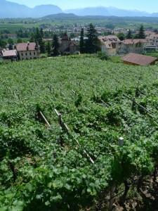 An Alto Adige vineyard. Flickr, ezioman.