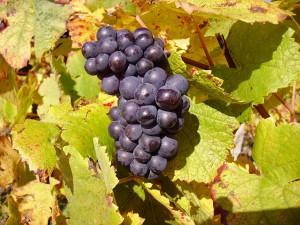 Pinot Noir, aka Pinot Nero. (Wikimedia)