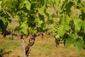 Seyval blanc, a hybrid grape. (Wikimedia)