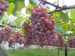 Koshu grapes at Katsunama Vineyard. (Wikimedia)